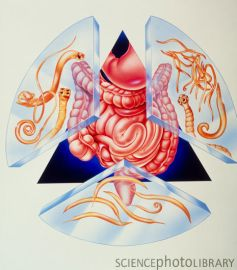 z1650047-artwork_of_various_intestinal_parasites_and_gut-spl